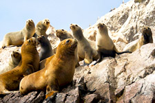 Ica cover photo. Sealions and Fur Seals sunning themselves o