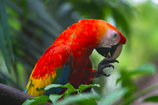 Iquitos Cover Photo. Macaw in the jungle foliage of Iquitos.