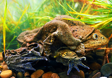 The endangered giant frog, found only in Lake Titicaca.