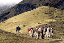Llamas carrying packs outside of Cusco, Peru, for the Lares