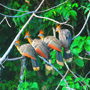 Cover photo. Tropical birds in the Madidi Rainforest foliage