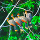 Colorful tropical birds in the Madidi Rainforest near Rurren