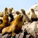 Sea Lions sunning on the rocks of the Ballestas Islands in I