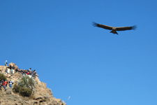 Conder flying over Colca Canyon nearby Arequipa, Peru.