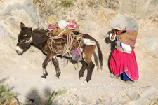 Local woman with mule in Colca Canyon in Arequipa, Peru.