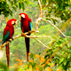 Pair of Macas in the wetlands of Bolivia near Rurrenabaque,