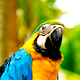 Colorful Macaw in Iquitos of the Peruvian Amazon.