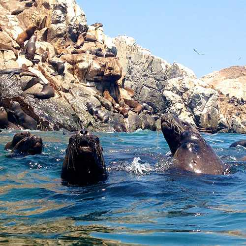 Swimming with Sea Lions in Palomino's Island